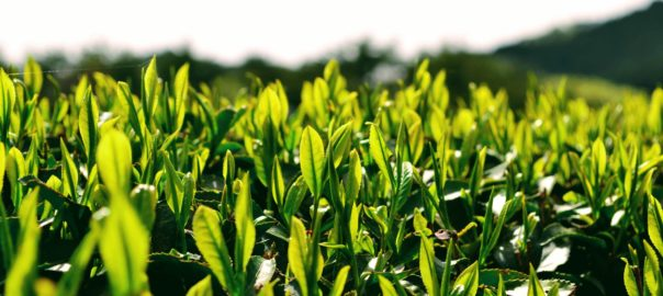 Nouvelles feuilles de thé
