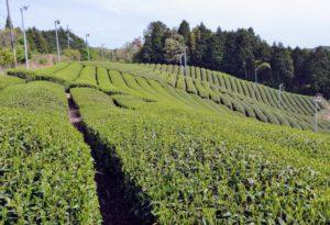 Plantation de thé dans le hameau Dosenbo