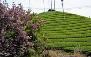 Champs de thé et cerisier à fleurs doubles
