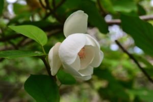 Magnolia Oyama-Renge