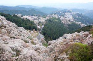 Cerisiers de Yoshino