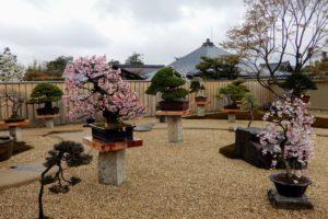 L'ouverture d'un jardin de bonsaï à Kyoto