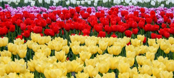 Grand parterre de tulipes