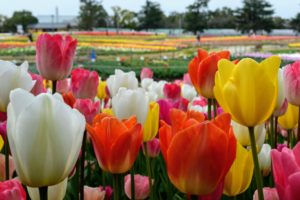 Tulipes3