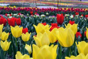 Tulipes5