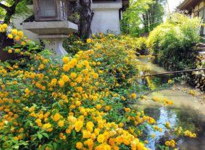 Corète du Japon au bord de la rivière