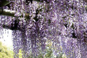 Le rideau de fleurs de glycine au palais impérial Sento de Kyoto