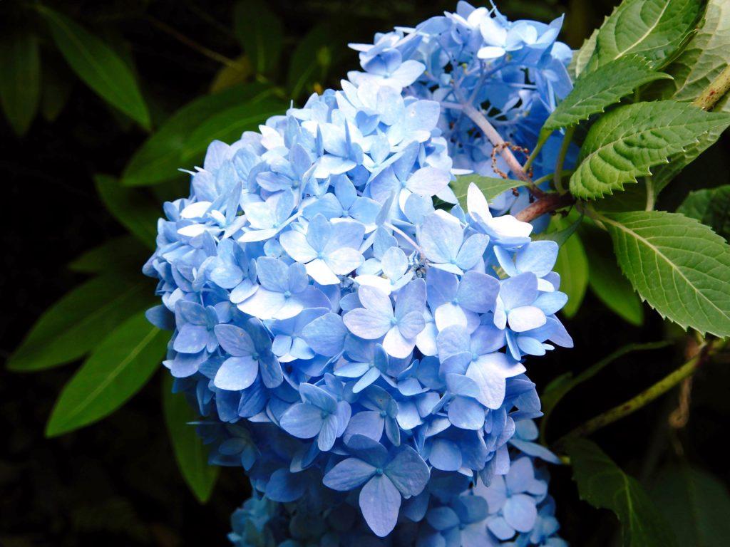Hortensia occidental, seiyo-ajisai
