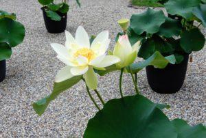 fleur éclose, fleur non éclose et faux-fruit du lotus