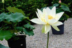 Le lotus, la fleur sacrée dans le bouddhisme