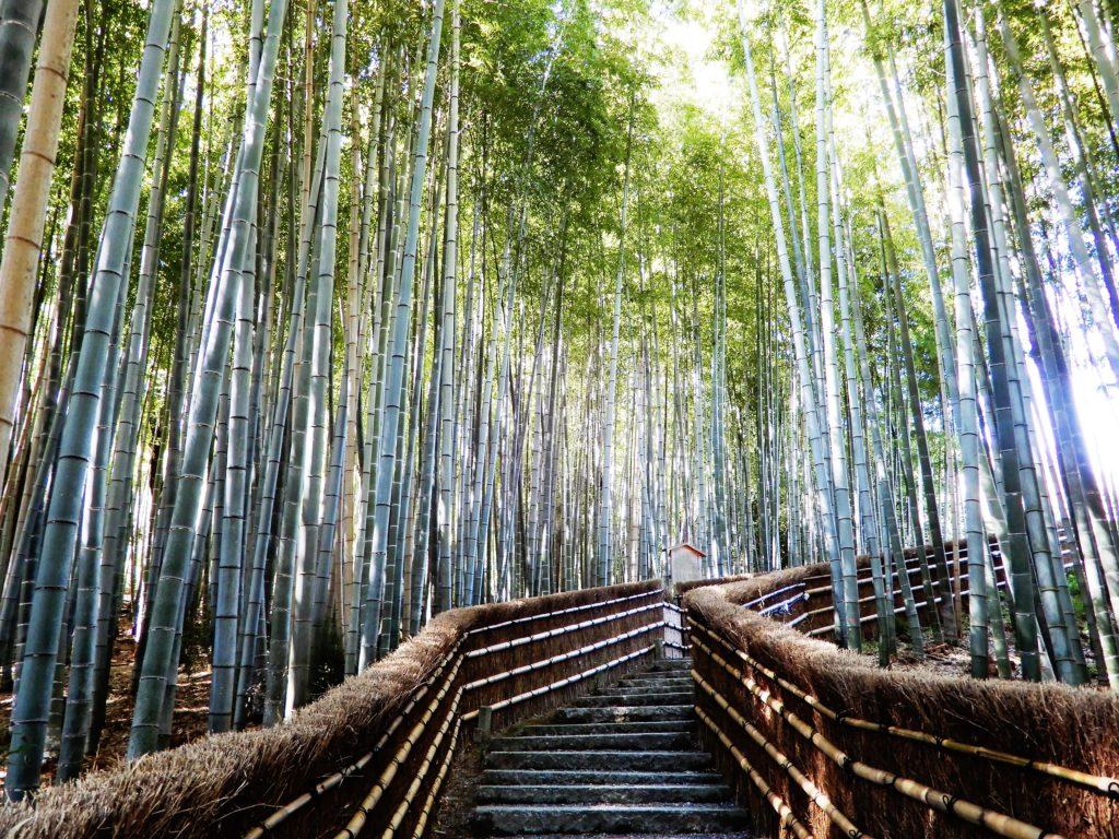 Chemin bordé de bambous