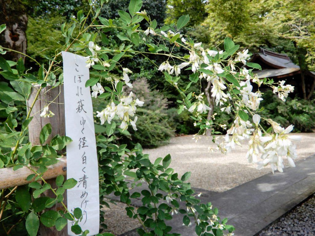 Fleurs blanches de hagi