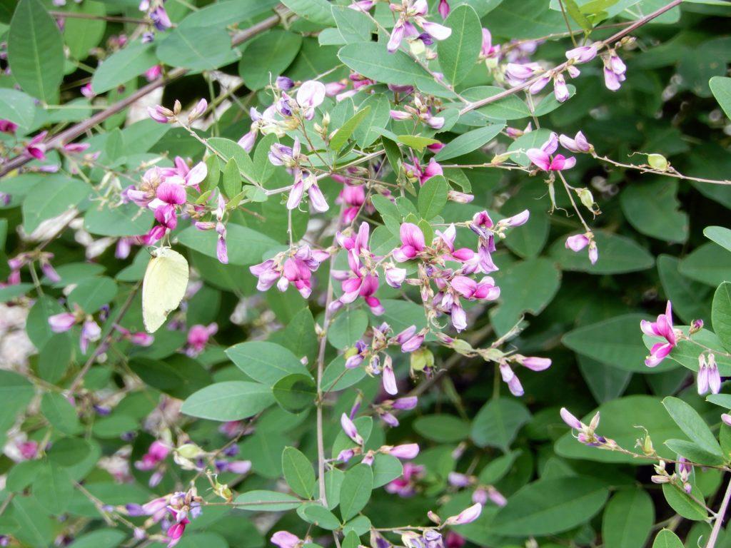 Fleurs violacées de hagi